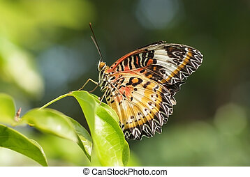 Tiger stripes 2 - A beautiful butterfly perched on a leaf in...