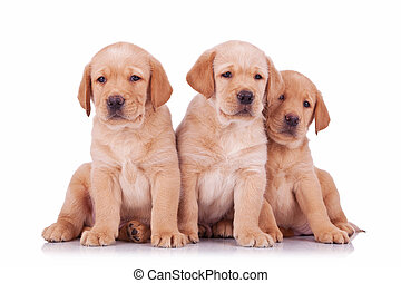 three labrador retriever puppy dogs sitting and looking at...