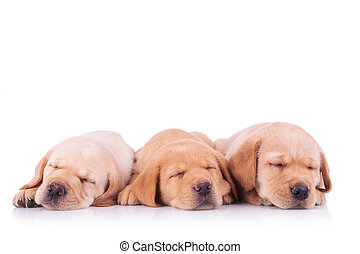 three labrador retriever puppy dogs sleeping - threecute...