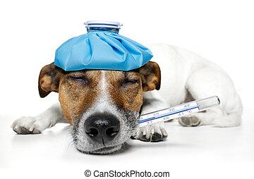 doente, cão, febre, dor