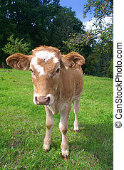 Calf grazing on meadow - Young cow standing on meadow and...