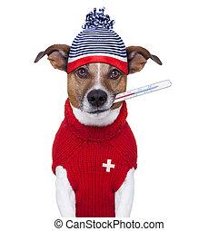 doente, doente, gelado, cão, febre