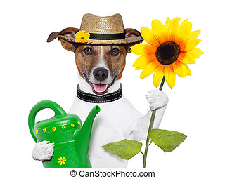 dog gardener - gardener dog with a big sunflower and a can