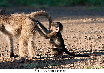 Baby baboon scratching another baboon's bump in the early...