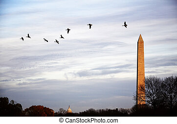 Geese Flying Over Washington Monument - Geese flying in air...