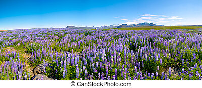 Lupin and mountains - Meadows full of blooming Nootka lupin...