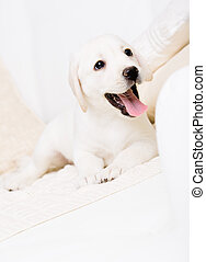 Close up of white labrador puppy lying on the sofa