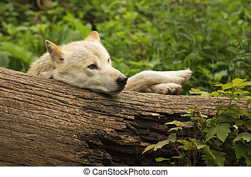 Funny white wolf - White wolf lying in the woods behind a...