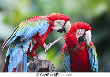 couple macaws - Colorful couple macaws sitting on log.