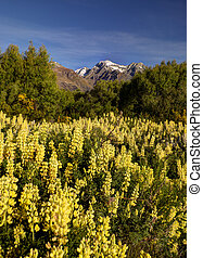 lupines at the shore of Lake Wakatipu in Glenorchy, New...