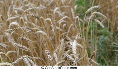 walk ripe wheat field