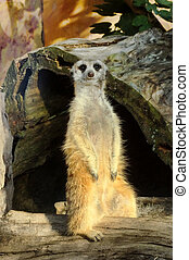 An alert meerkat looking straight forward.