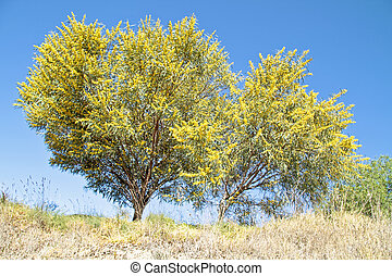 Blossoming mimosa tree in springtime - Blossoming mimosa...