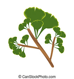 Twig with leaves of ginkgo biloba. Vector isolated...