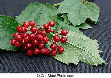 arrowwood - ripe red arrowwood in late autumn