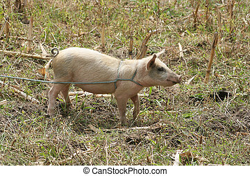 Female Pig Tied in a Field