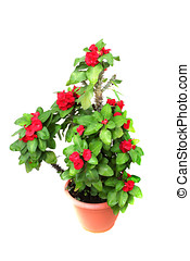 thorny plant - crown of thorn plant and flowers ,isolated on...