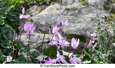 Wild cyclamen in a wind