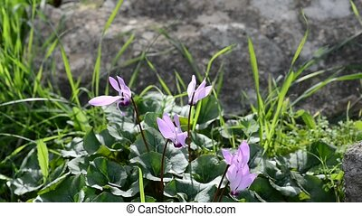 Cyclamen in a wind