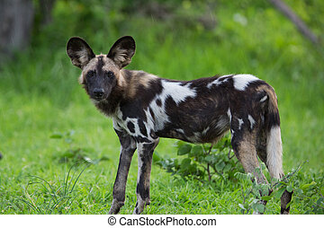 African Wild Dog - A high resolution image of a wild African...