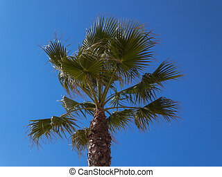 Fan palm tree against a clear blue sky