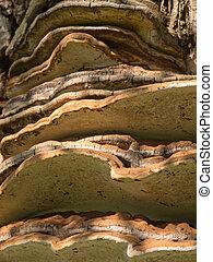 Tinder fungus or hoof fungus stuck to a tree