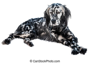 English setter dog, isolated in white background