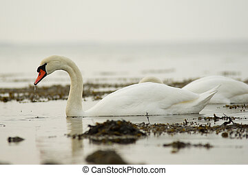 Swans in water - Two swans in pleasend afternon light.
