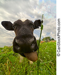 Smiling bull-calf - Wide angle portrait of bull-calf showing...