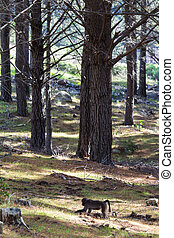 Chacma baboon in pine forest - Chacma baboon walking in pine...