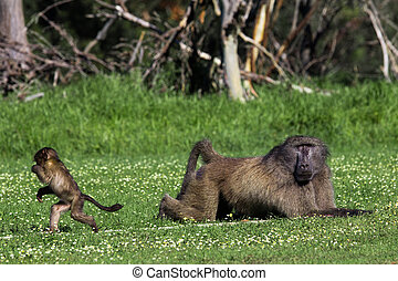 Male baboon and his baby offspring - Infant baboon running...