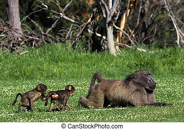 Male baboon and his baby offsprig - Adult male chacma baboon...
