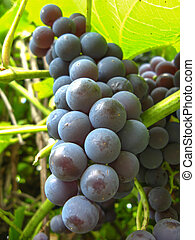 big cluster of blue grapes - the image of big cluster of...