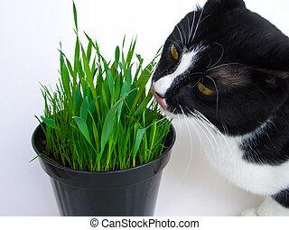Cat and catnip - Cat munching on a vase of fresh catnip,...
