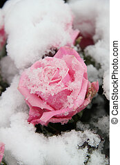 Snow covered pink rose - Big pink rose, covered with fresh...