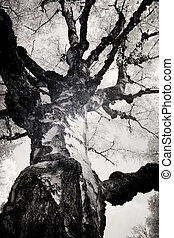 Infrared Photo of a Birch Tree - Infrared photo of a birch...