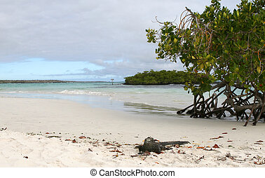 Marine Iguana - A marine iguana on a sandy beach