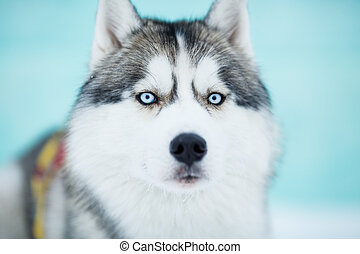 Siberian husky sled dog closeup portrait