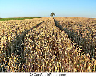Wheat field with a tree in background