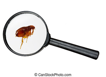 Dog or cat flea under real magnifying glass over white - Pet...