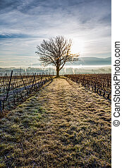 Lone Tree - Lone tree at sunrise in a vineyard