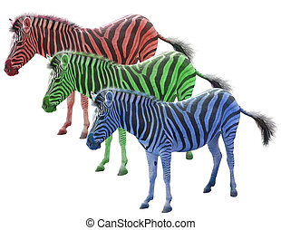 Three colored african zebras red blue ang green isolated...