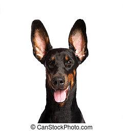 lindo, orejas, Dobermann, perro