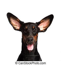 lindo, orejas, Dobermann, perro, aislado, blanco