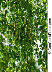 Spring blooming birch branches with green leaves and buds