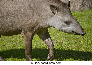 South American Tapir - South American tapir on green grass...