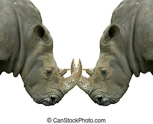 Isolated dueling Rhinos with locked horns on white