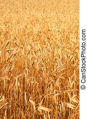 Wheatfield in the sunshine - A field of ripe wheat on a...