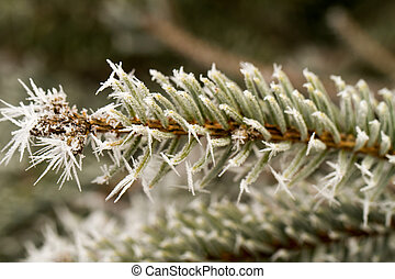 rime, hoarfrost on a pine branch - rime or hoarfrost on a...