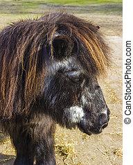 Shetland pony senior